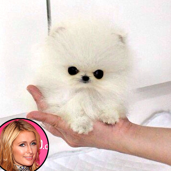 Paris Hilton Reportedly Buys the World's Smallest Pomeranian