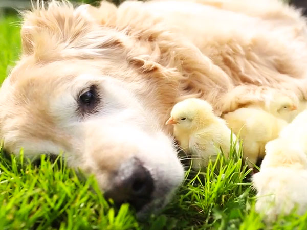 Viral Video: 11-Year-Old Golden Retriever Fosters Baby Chicks