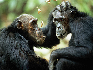 Scientists Reveal What Chimpanzees Are Actually Saying to Each Other