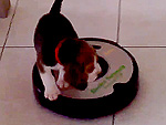 No One Puts Beagle in a Corner – Not Even Roombas (VIDEO)