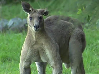 Unusually Buff Kangaroo Intimidates Australian Neighborhood (Video)
