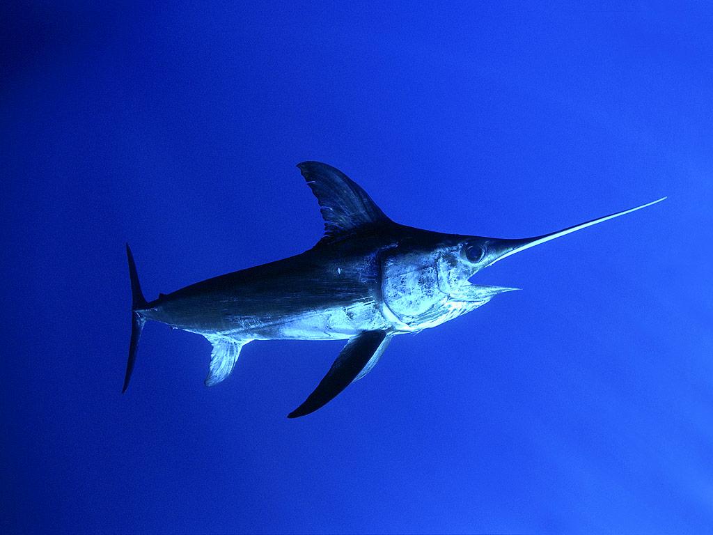 Swordfish - фото 3