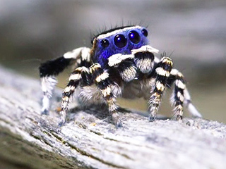 Even Arachnophobes Have to Admit the Blue Face Peacock Spider Is Cute (Video)