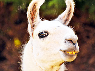 Llamas React to the Llama Drama