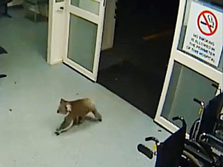 Koala Casually Enters Australian Hospital's Emergency Room