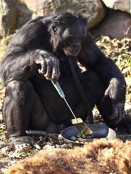 chimp-cooking-435 - Chimps are capable of cooking: Research - Science and Research