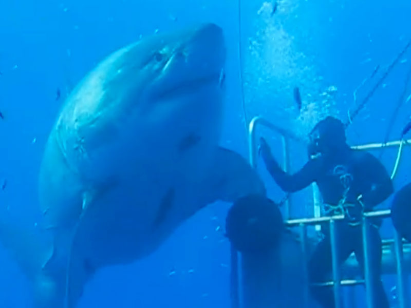 Largest great white shark captured on film in mexico people com