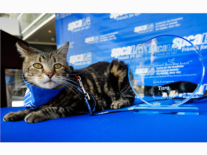 Tara the Hero Cat Receives Hero Dog Award from SPCA in Los Angeles
