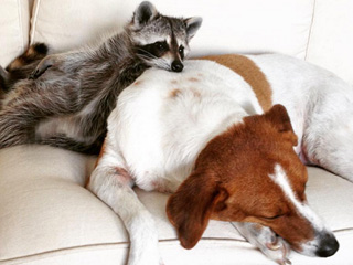 Pumpkin the Raccoon Thinks She's a Dog, And Her Dog Friends Are Okay With That