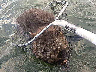 Two Australian Fishermen Save Thankful Wombat from Drowning