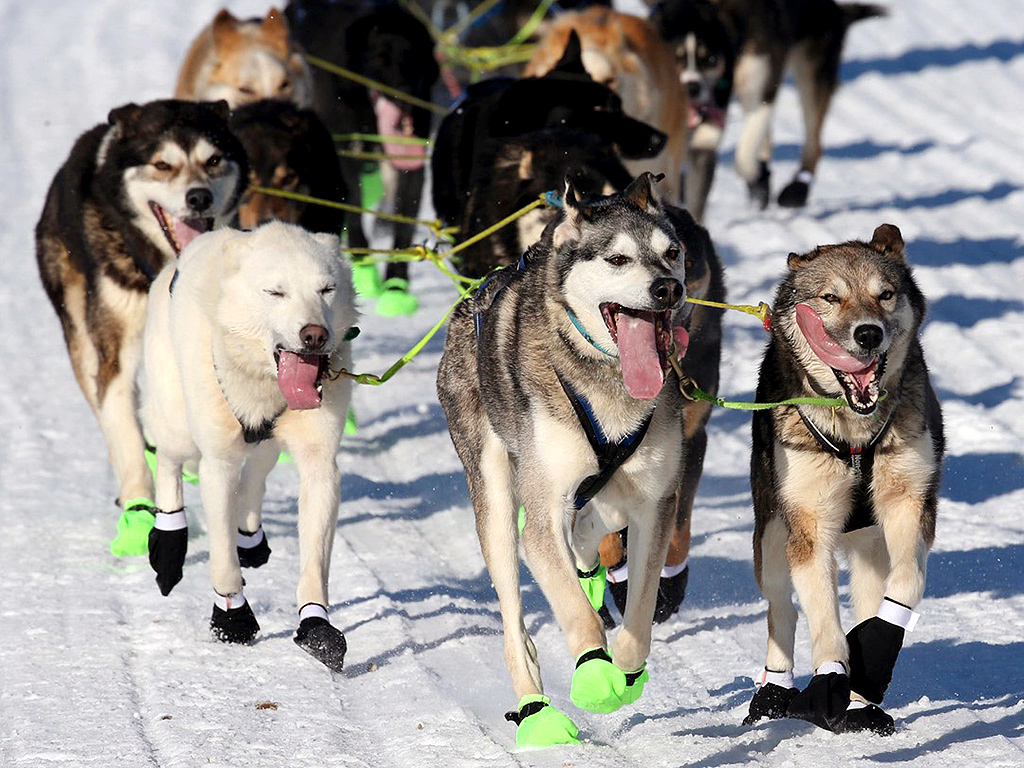 Iditarod Attack: Sled Dog Killed by Drunk Snowmobile Driver