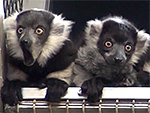 WATCH: Philadelphia Zoo Debuts Four Adorable Baby Lemurs – and They're Already Making Mischief