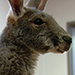 Therapy Kangaroo to Be Honored at Veteran Home in Utah