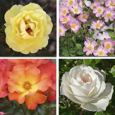 shrub roses: large yellow bloom, small pink and white blooms, medium coral and yellow blooms and large white bloom