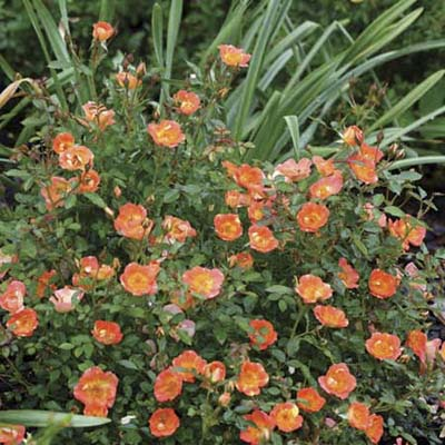 shrub roses: orange/ coral blooms with yellow centers
