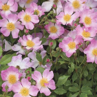 shrub roses: pink blooms fade to white in the center