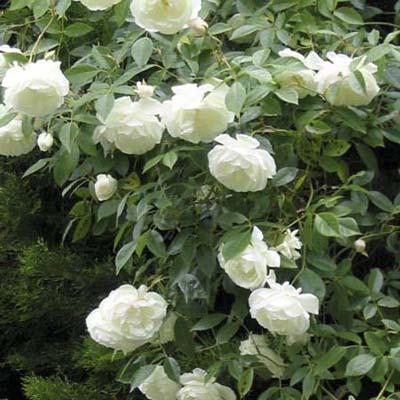 shrub roses: large white blooms with dark green foliage