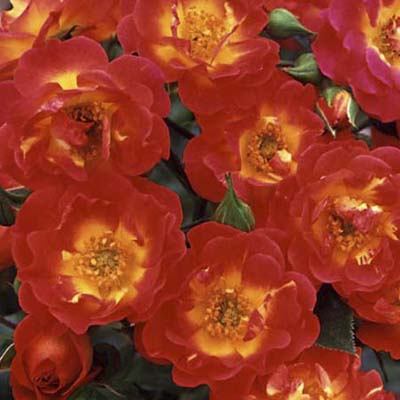 shrub roses: blended red & yellow semi-double blooms