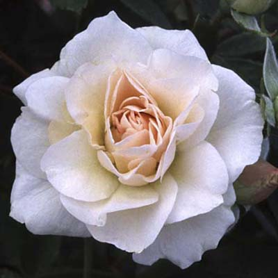 shrub roses: ivory/ blush pointed double blooms