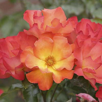 shrub roses: pink-orange blooms with yellow centers
