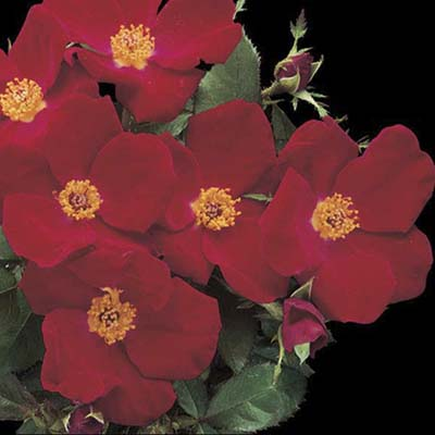 shrub roses: flame red single clustered blooms