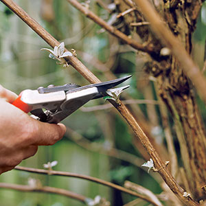 pruning a shrub in winter