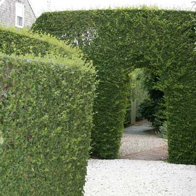 privet hedge forming wall