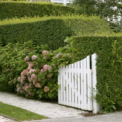 multitiered privet hedge