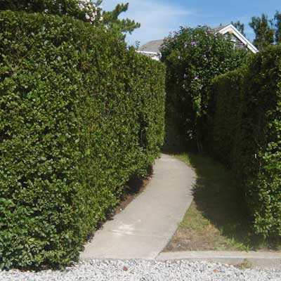 privet hedge along concrete path
