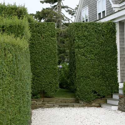 tapered privet hedge