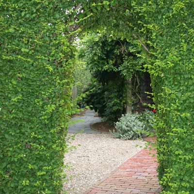 pleached privet hedge arch