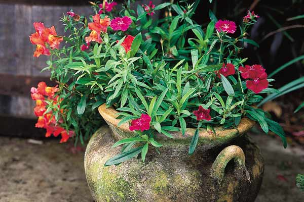 terra cotta urn container plant with snapdragons and dianthus