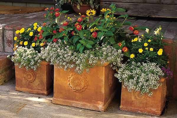 container plant terra cotta boxes with candytuft and marigolds