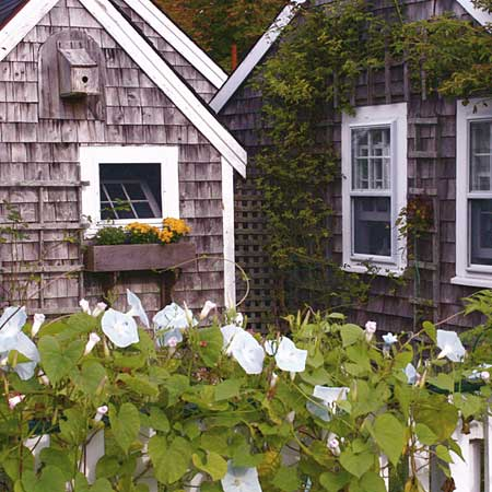 morning glories on a picket fence