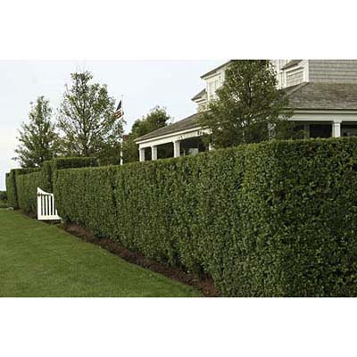 Tall green hedge sheltering the lower part of a house from view
