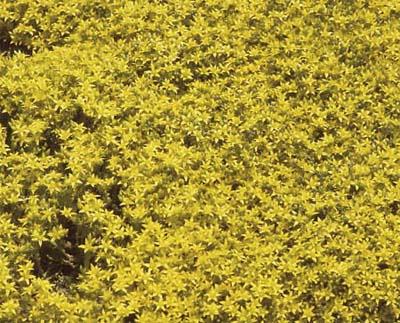 Stonecrop (Sedum 'Gold Dust'), drought resistant perennials