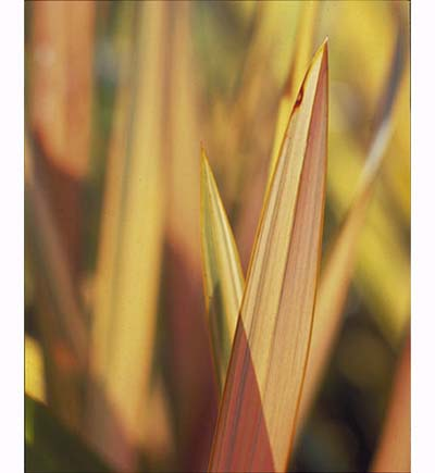 New Zealand Flax (Phormium 'Yellow Wave')
