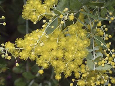 Pearl Acacia (Acacia podalyriifolia), drought resistant perennials