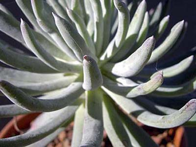 Ladies Fingers (Dudleya edulis), drought resistant perennials