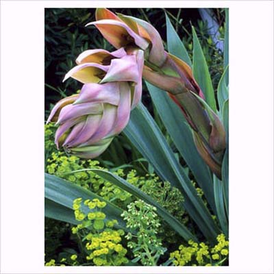 Mexican Lily Beschorneria yuccoides, drought resistant perennials