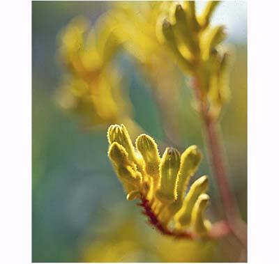 Kangaroo Paw (Anigozanthos 'flavidus'), drought resistant perennials