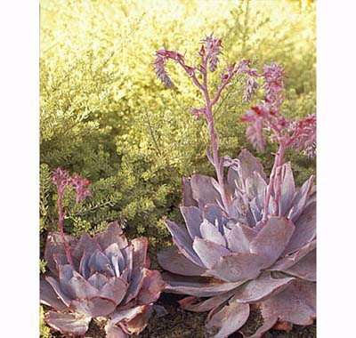 Echeveria 'Afterglow', drought resistant perennials