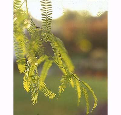 Chilean Mesquite Tree (Prosopis chilensis), drought resistant perennials