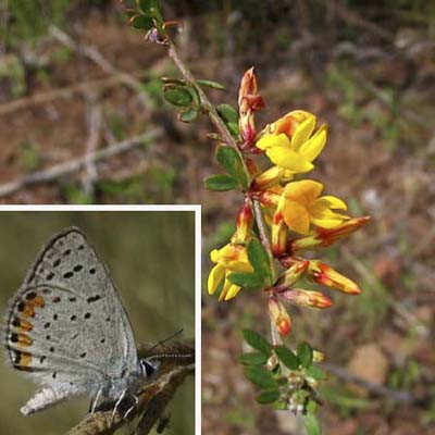 yellow-orange autumn blossoms on deerweed; acmon blue butterfly with black-spotted, white wings