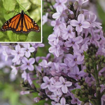 common lilac (small purple clustered flowers) and orange and black monarch butterflies