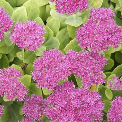 Sedum spectabile Autumn Joy