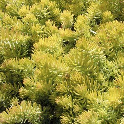 sedum succulent varieties  Sedum rupestre Angelina