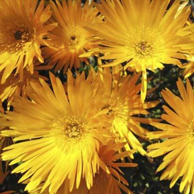 Delosperma nubigenum Hardy yellow iceplant
