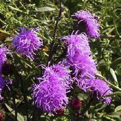 blazing star; long, spiky, reddish purple flower heads