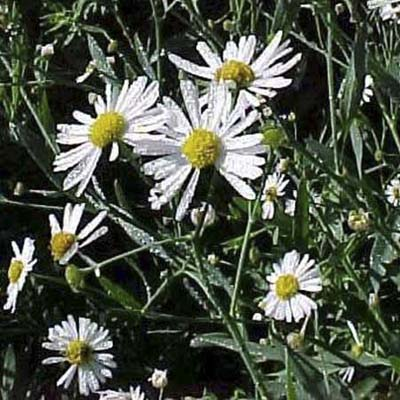 False Aster; panicles of pale-pink to white flowers with yellow centers